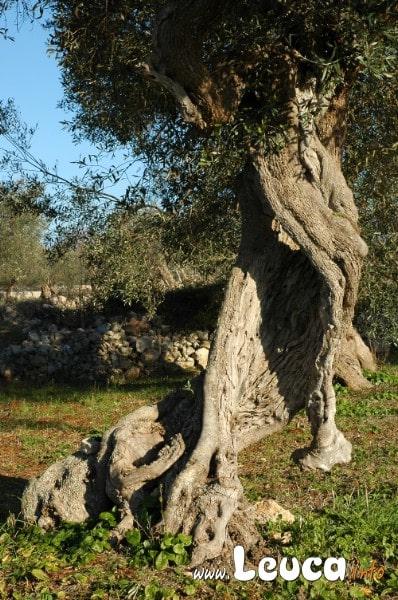 Foto ulivo Secolare del Salento, ogni albero ha trasformazioni piacevoli e artistiche.