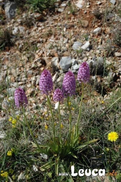 Orchidee Selvatiche ... la natura del Salento